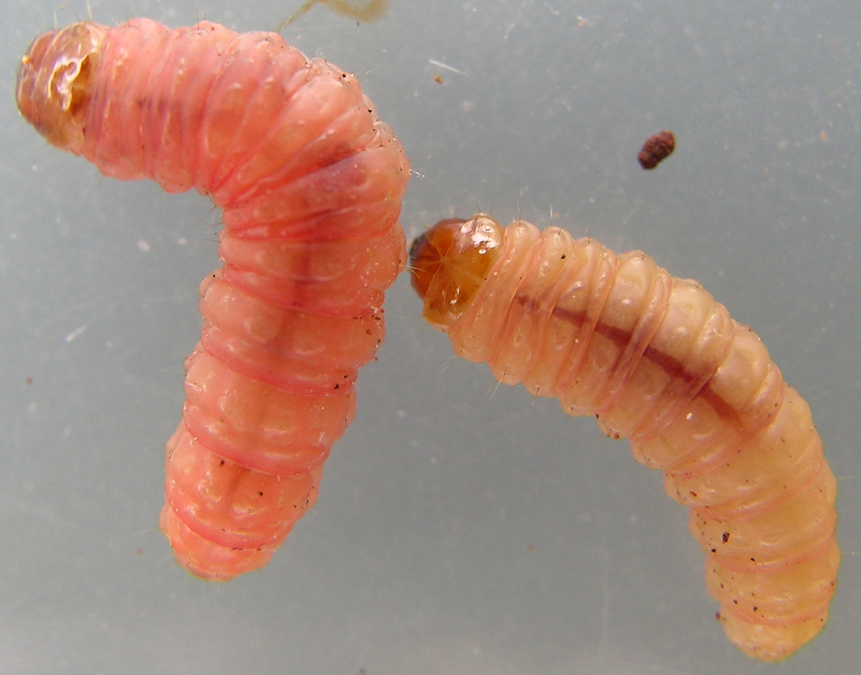 bed bug larval stage    biological science picture