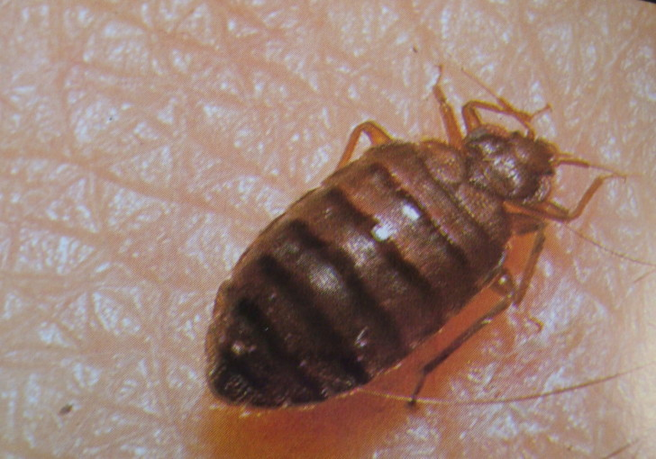Bug , Bed Bug Pictures : Bed Bug Picture 2