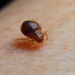 bed bug picture treatment , Bed Bug Pictures In Bug Category