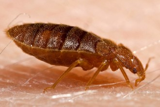 Bed Bug Prevention , Bed Bug Pictures In Bug Category