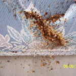 bed bug rash , Bed Bug Pictures In Bug Category