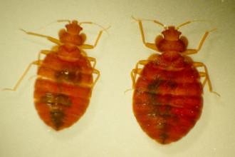 Bed Bugs , 6 Bed Bug Mattress In Bug Category