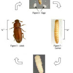 beetle life cycle diagram , 5 Beetle Life Cycles Diagrams In Beetles Category