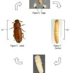 beetle life cycle diagram , 5 Beetle Life Cycles Diagrams In Beetles Category