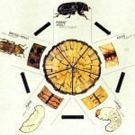 beetle life cycle pictures , 5 Beetle Life Cycles Diagrams In Beetles Category