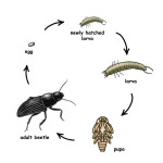 beetle life cycles , 5 Beetle Life Cycles Diagrams In Beetles Category