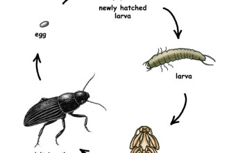 Beetles , 5 Beetle Life Cycles Diagrams : beetle life cycles
