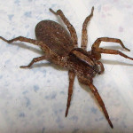 big brown spider , 6 Big Brown Spider In Spider Category
