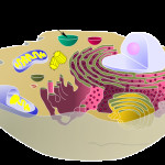 biological animal cell vacuole , 2 Pictures Do Animal Cells Have Vacuoles In Cell Category