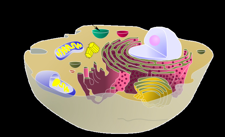 Cell , 2 Pictures Do Animal Cells Have Vacuoles : Biological Animal Cell Vacuole