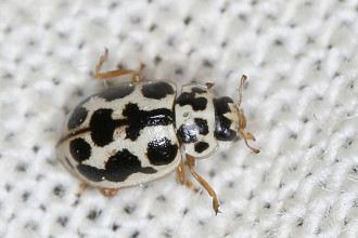 black and white lady beetle in Dog