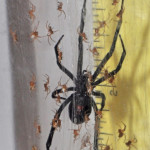 black widow spider babies , 6 Black Widow Spider Babies In Spider Category