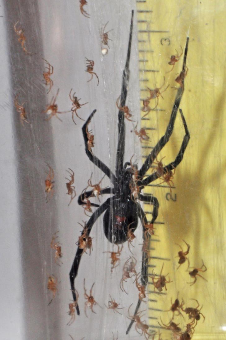 Spider , 6 Black Widow Spider Babies : Black Widow Spider Babies