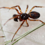 black widow spider babies photo , 6 Black Widow Spider Babies In Spider Category