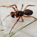 black widow spider babies photo , 6 Black Widow Spider Babies In Spider Category