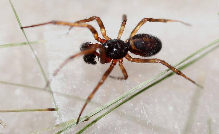 Spider , 6 Black Widow Spider Babies : Black Widow Spider Babies Photo