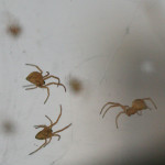 black widow spider babies poisonous , 6 Black Widow Spider Babies In Spider Category