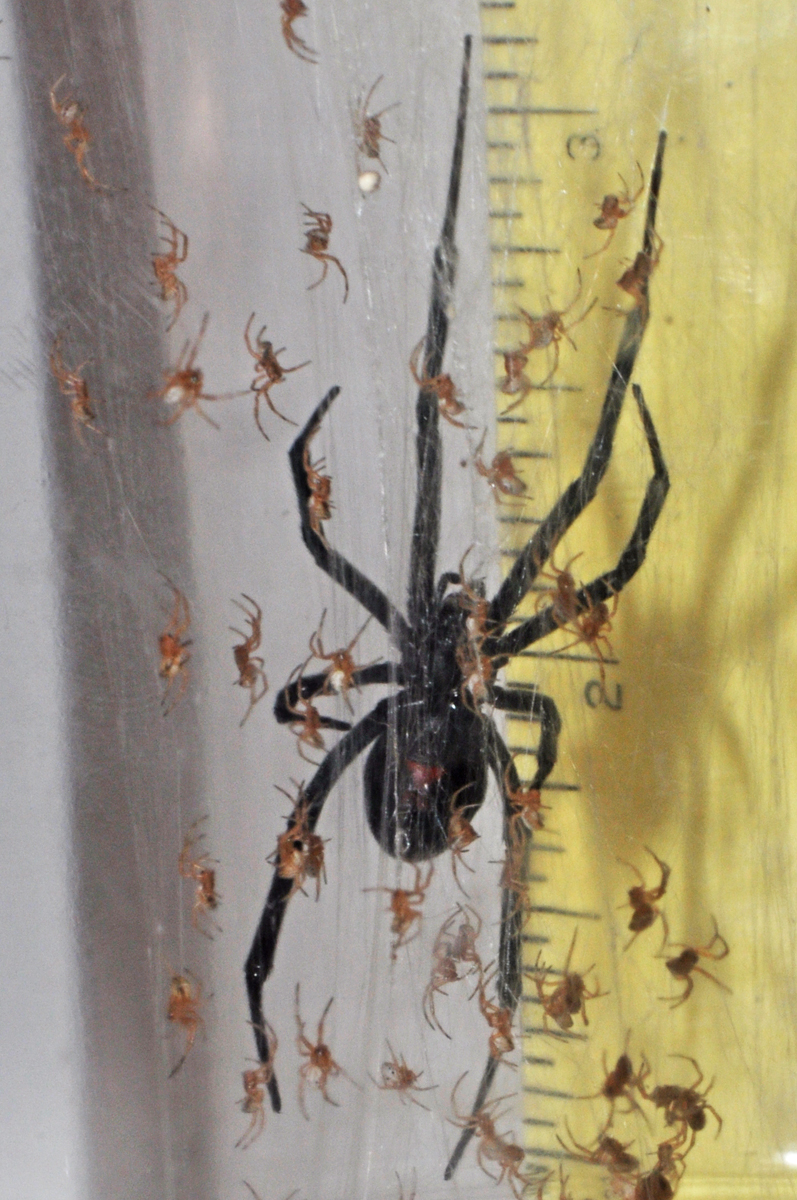 Black Widow Spider Babies Biological Science Picture