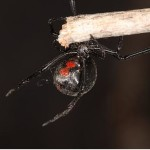 black widow spider facts and pictures , 5 Black Widow Spider Fact In Spider Category