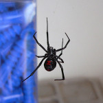 black widow spider facts bite , 5 Black Widow Spider Fact In Spider Category