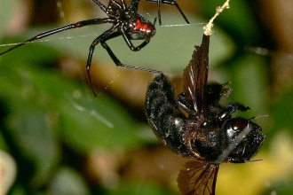 black widow spider facts for kids pic 1 in Cat
