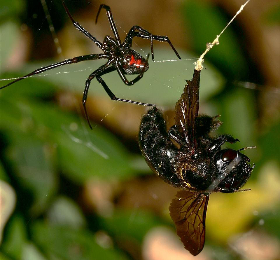 black widow spider facts for kids pic 1