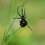 black widow spider facts for kids pic 2 , 6 Black Widow Spider Facts For Kids In Spider Category
