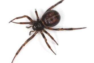 Black Widow Spider Facts For Kids Pic 4 , 6 Black Widow Spider Facts For Kids In Spider Category