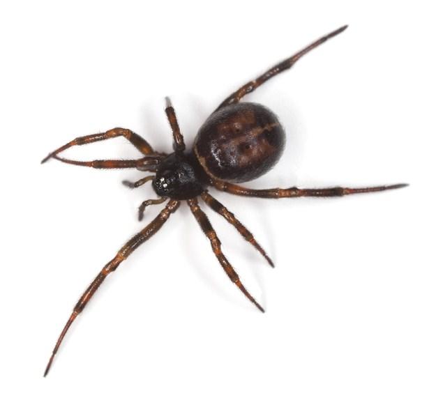 Spider , 6 Black Widow Spider Facts For Kids : Black Widow Spider Facts For Kids Pic 4