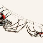 black widow spider facts for kids pic 5 , 6 Black Widow Spider Facts For Kids In Spider Category