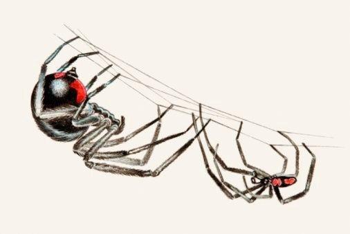 Spider , 6 Black Widow Spider Facts For Kids : Black Widow Spider Facts For Kids Pic 5