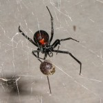 black widow spider habitat facts , 5 Black Widow Spiders Habitat In Spider Category