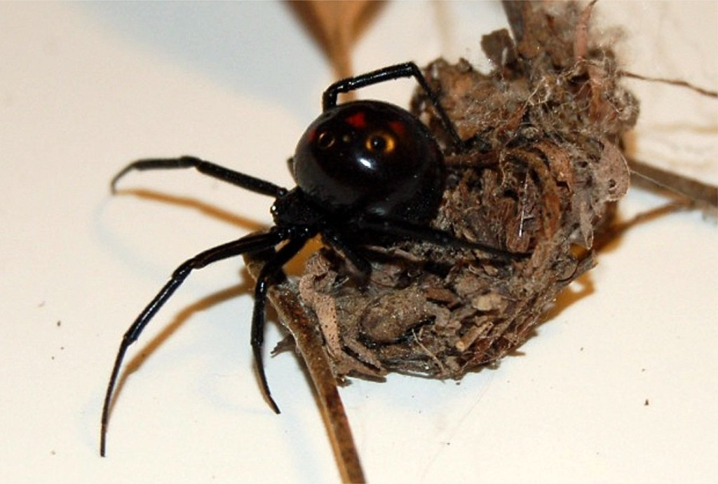black widow spider predator picture 1