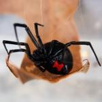 black widow spider predator picture 2 , 6 Black Widow Spider Predators Pictures In Spider Category