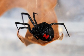 black widow spider predator picture 2 in Birds