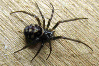 Black Widow Spider Predator Picture 4 , 6 Black Widow Spider Predators Pictures In Spider Category