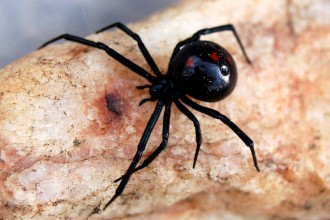 Black Widow Spider Predator Picture 5 , 6 Black Widow Spider Predators Pictures In Spider Category