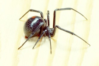 Black Widow Spider Predator Picture 6 , 6 Black Widow Spider Predators Pictures In Spider Category