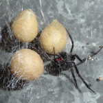 black widow spiders habitat , 5 Black Widow Spiders Habitat In Spider Category