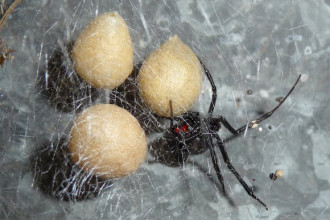 black widow spiders habitat in Skeleton