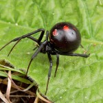 black widow spiders habitat range , 5 Black Widow Spiders Habitat In Spider Category