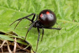 Black Widow Spiders Habitat Range , 5 Black Widow Spiders Habitat In Spider Category