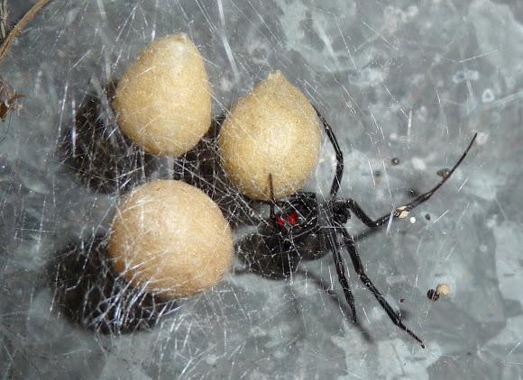 Spider , 5 Black Widow Spiders Habitat : Black Widow Spiders Habitat