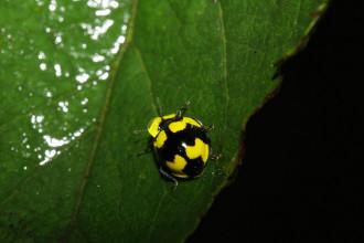Black Yellow Lady Bug Beetles , 6 Lady Bug Beetles In Beetles Category