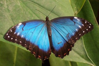 Blue Butterfly 4 , 4 Blue Butterfly Pictures In Butterfly Category