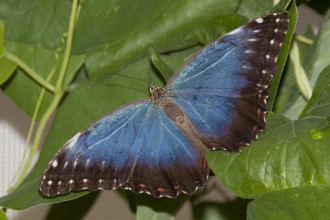 Blue Butterfly 5 , 4 Blue Butterfly Pictures In Butterfly Category