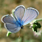 blue karner butterfly facts , 6 Blue Karner Butterfly Pictures In Butterfly Category