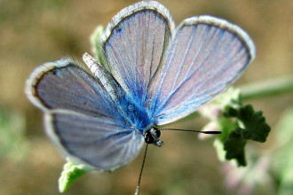blue karner butterfly facts in Forest