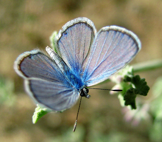 Butterfly , 6 Blue Karner Butterfly Pictures : Blue Karner Butterfly Facts