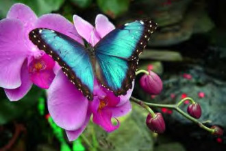 Blue Morpho Butterfly Fact , 7 Blue Morpho Butterfly Facts In Butterfly Category